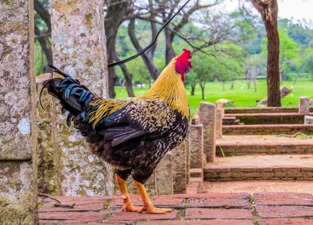 2017 Chinese Zodiac: What The Year Of the Rooster Means For You